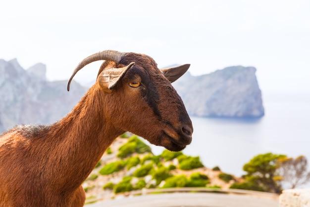 Majorca goat in formentor cape lighthouse