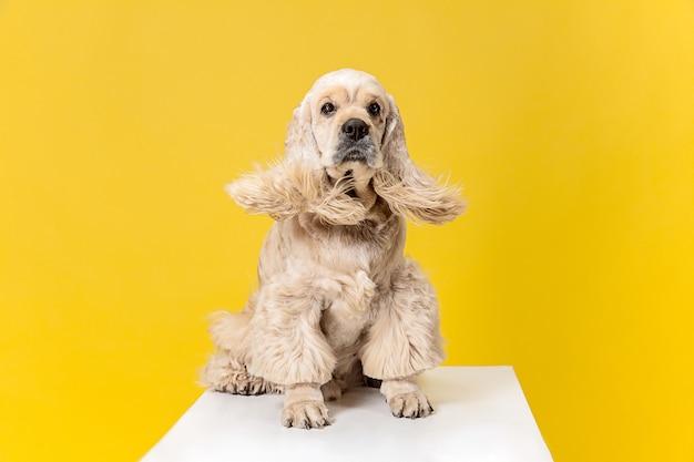 Fare acconciatura. cucciolo di spaniel americano. il cagnolino o l'animale domestico lanuginoso curato sveglio è seduto isolato su priorità bassa gialla. servizio fotografico in studio. spazio negativo per inserire il testo o l'immagine.