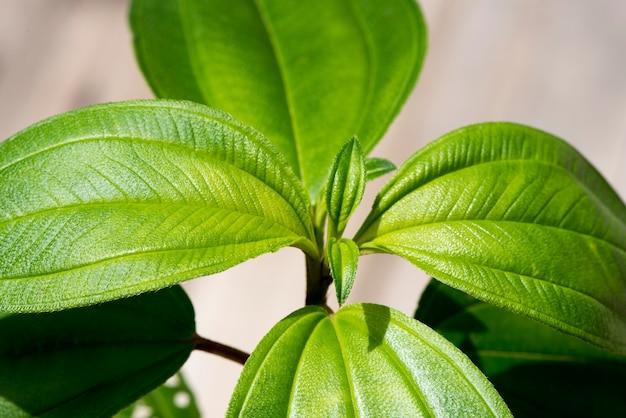 Malabar gooseberry or melastoma malabathricum  branch green leaves on natural background.