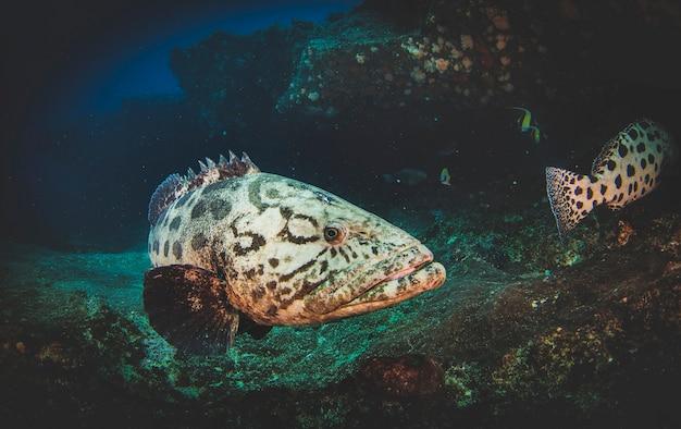 Малабарский морской окунь плавает в тропических подводных водах. морской окунь в подводном мире. наблюдение за животным миром. подводное плавание с аквалангом на южноафриканском побережье юар
