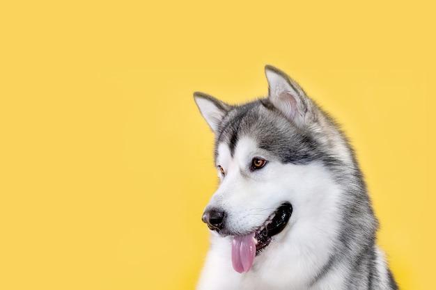 黄色の背景にマラミュート犬