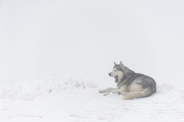 Malamute dog yawns, lying on the snow in the mountains