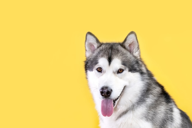 Malamute dog on yellow background