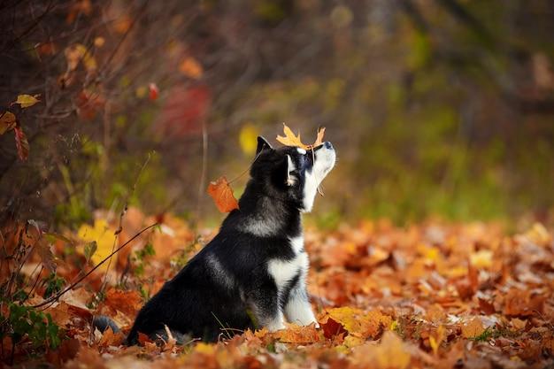 숲 가운데 앉아 오렌지 잎 malamute 강아지
