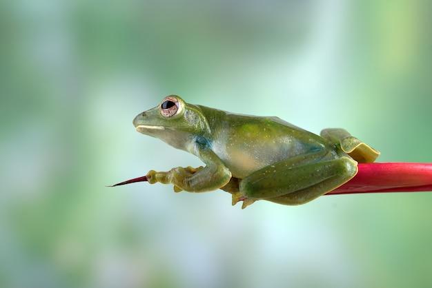 붉은 꽃에 앉은 말레이 비행 개구리