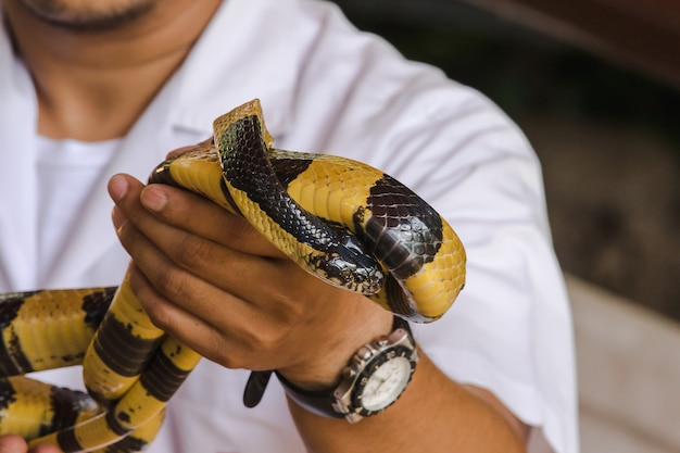 Malayan krait is on a man's hand. a snake with black and white stripes along the body length.