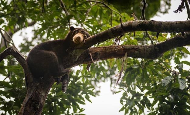 Malayan sun bear looking moody and tired, sepilok, borneo, malaysia