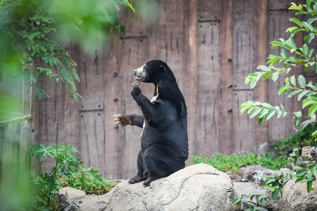 Malayan sun bear standing in the zoo