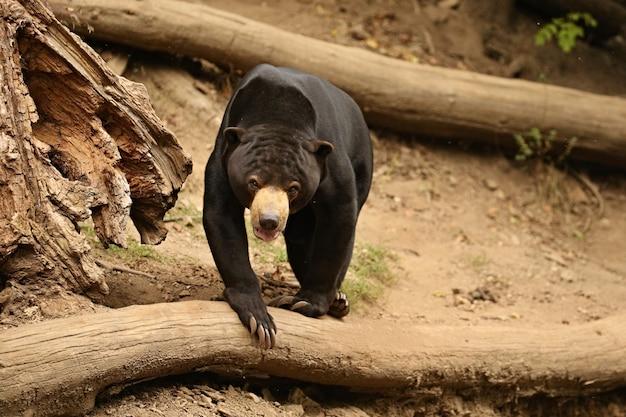 Malayan sun bear walking through the jungle