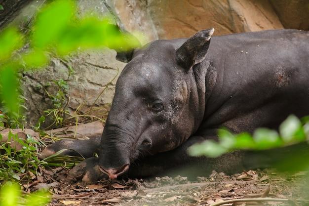 Malayan tapir sleeps on the ground