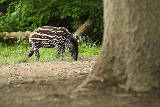 Malayan tapir with baby in the nature habitat