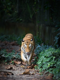 Malayan tiger taking a walk in the jungle