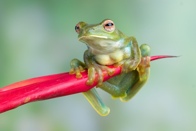 Malayan tree frog hanging on red flower
