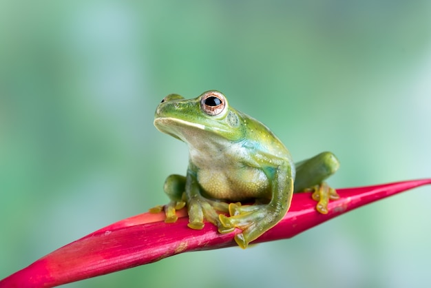 Malayan tree frog perched on a red flower