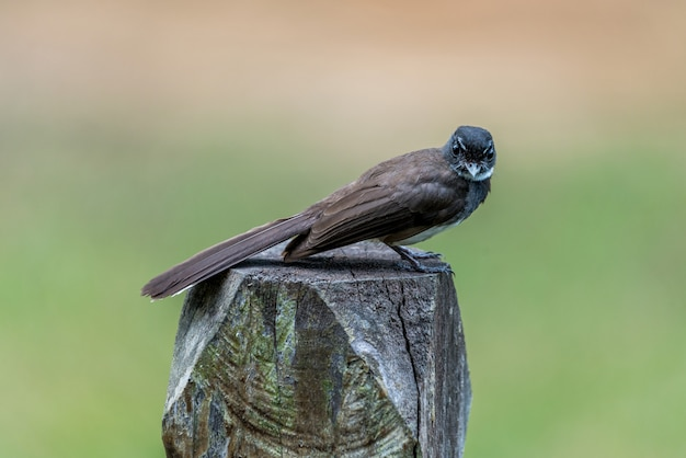 The malaysian pied fantail perched and rest