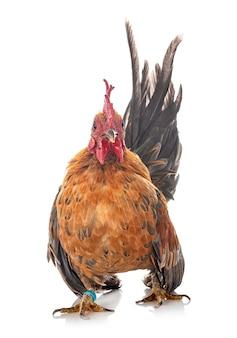 말레이시아 세 라마 치킨