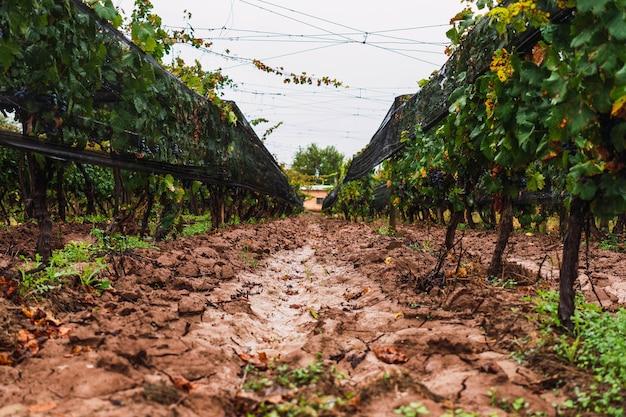 아르헨티나 멘도사에 있는 말벡 포도 농장. 선택적 초점입니다.