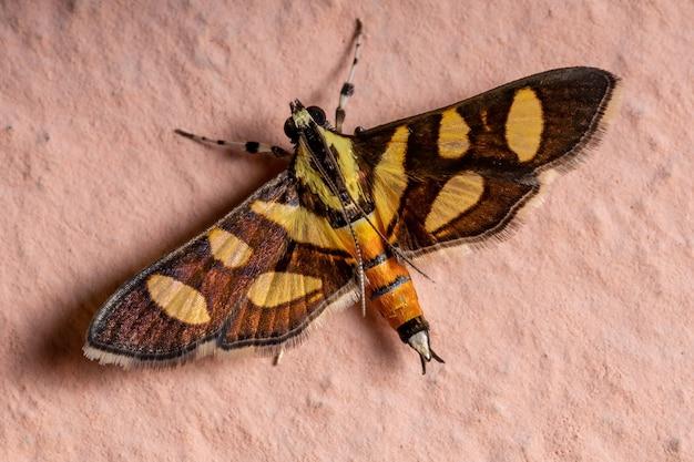 Взрослый самец оранжево-пятнистой цветочной моли вида syngamia florella