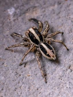 チャスジハエトリグモ種のオスの成虫ハエトリグモ