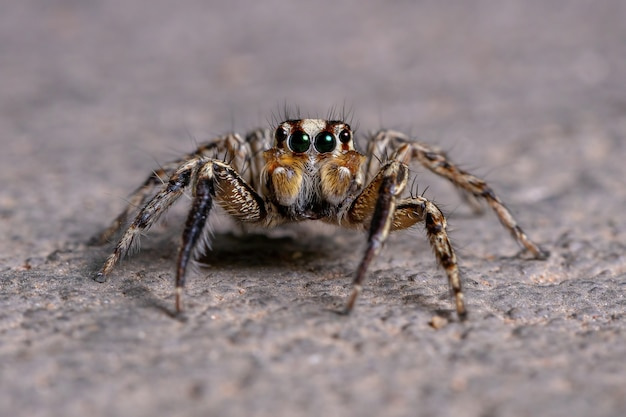 Male adult pantropical jumping spider of the species plexippus paykulli