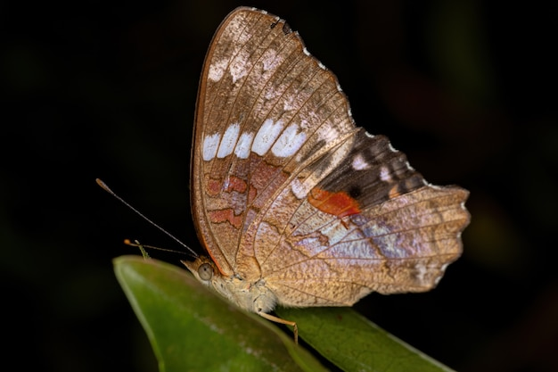 Male adult red peacock butterfly of the species anartia amathea