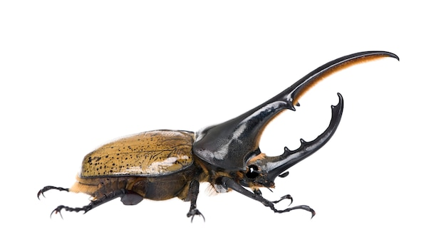 Male adulte hercules beetle - dynastes hercules - is the most famous and largest of the rhinoceros beetles.