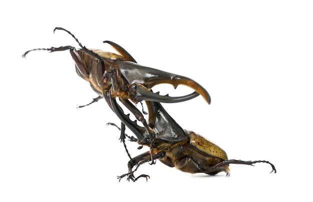 Male adulte hercules beetles fighting, dynastes hercules isolated