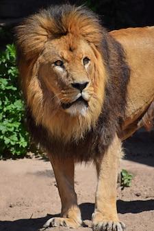 美しいたてがみを持つ雄のアフリカのライオン
