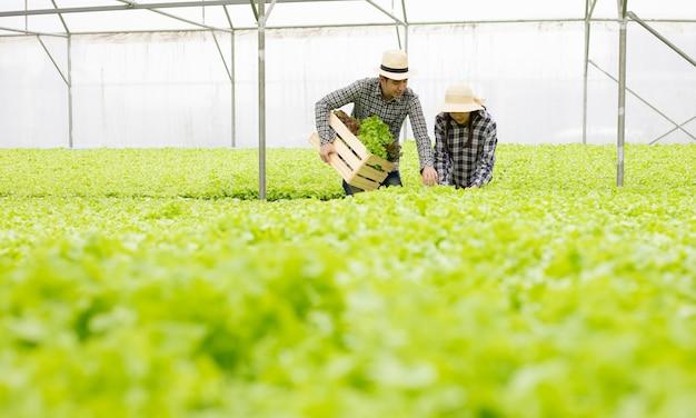 Садовники мужского и женского пола собирают экологически чистые овощи, собранные на ферме гидропоники.