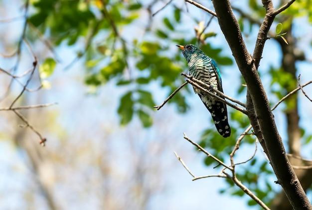 タイの枝にとまるオスのアジアンエメラルドカッコウ