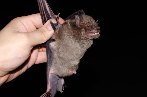 Летучая мышь-самец с обнаженными яичками