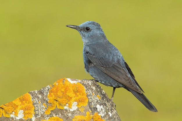 Самец голубого каменного дрозда в гнойном оперении на своем любимом насесте в природе с первыми лучами рассвета
