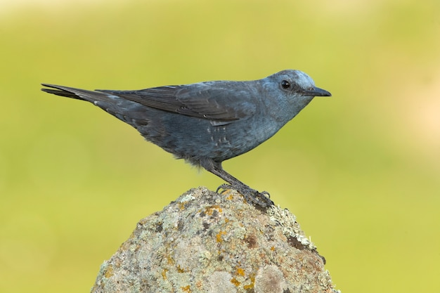 Самец синего каменного дрозда в гнойном оперении при последних лучах света на территории своего размножения.