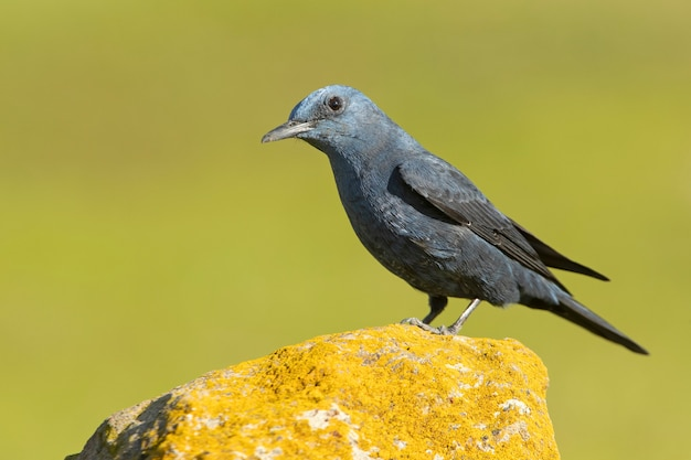 Male blue rock thrush in rutting plumage with the last light of day in his breeding territory