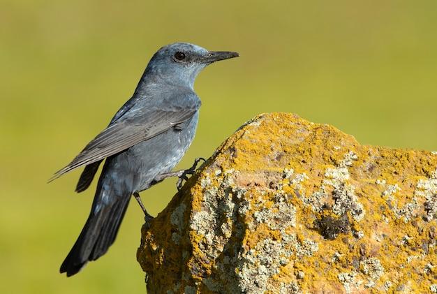 Самец голубой каменный дрозд с гнойным оперением в природе