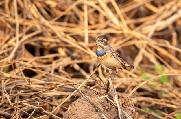 タイ、稲わらにとまるオスのオガワコマドリ