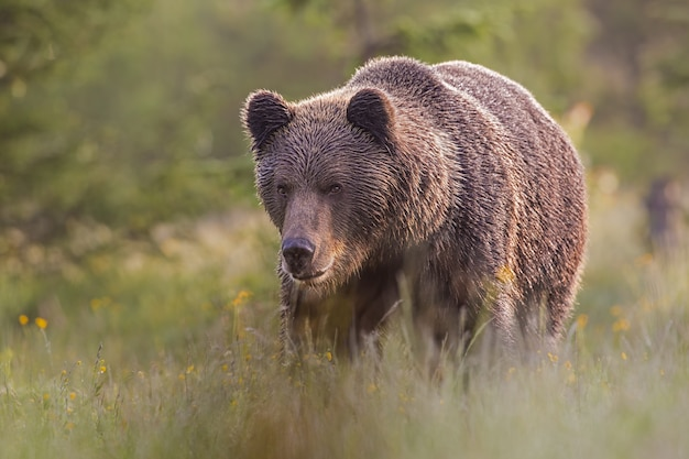 Male brown bear standing on the meadow
