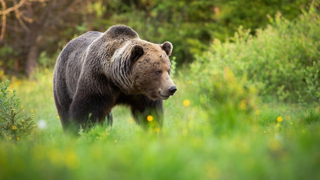 Male brown bear walking on green grass and looking aside in nature