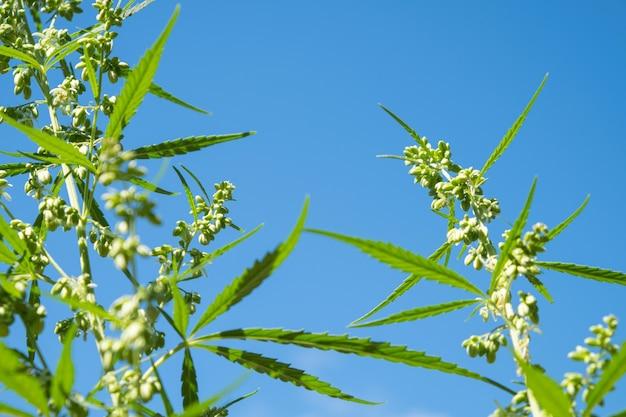 푸른 하늘을 배경으로 남성 대마초 달걀 녹색 마리화나