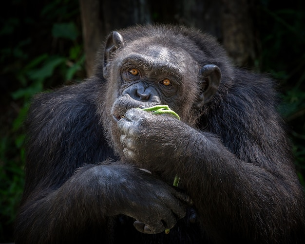 The male chimpanzee is eating in the natural atmosphere of the zoo.