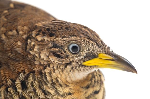 A male common bustard quail close up