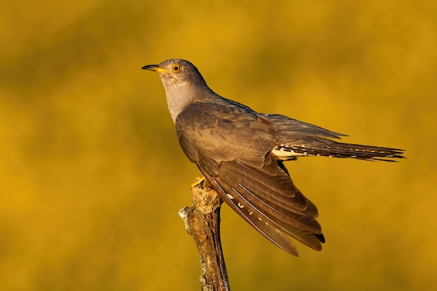 Male common cuckoo displaying at sunset in summer