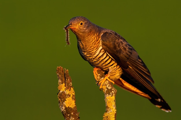 Male common cuckoo sitting on a branch in treetop at sunset
