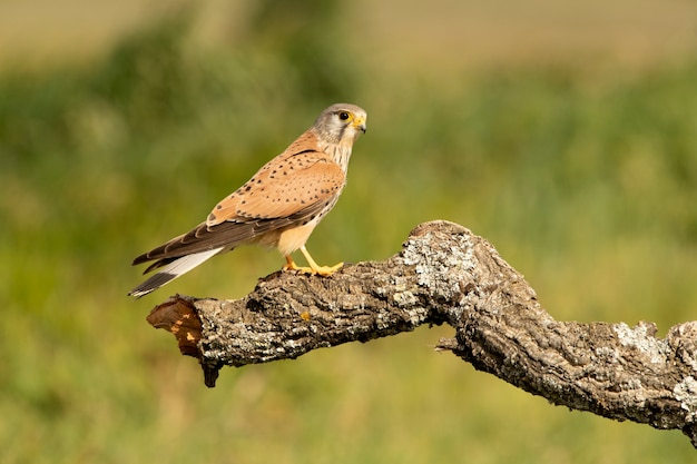 Male common kestrel at his favorite perch in the late afternoon lights