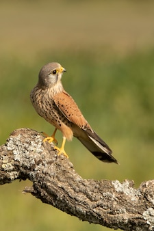 Male common kestrel at his favorite perch with the first light of day on his breeding ground in spring