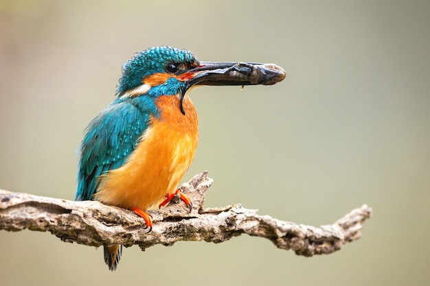 Male common kingfisher holding prey in beak on branch. Premium Photo