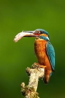 餌をやろうとしている魚と小枝に座っている男性のカワセミ