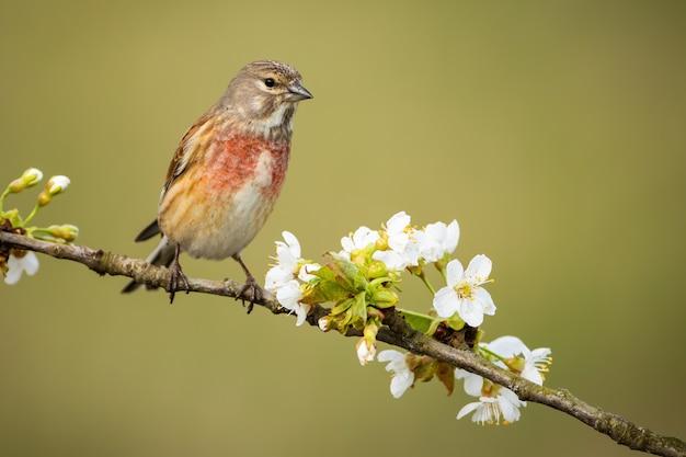 Самец обыкновенный linnet сидит на цветущей ветке дерева с белыми цветами весной