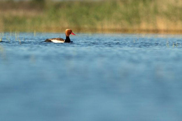 Male of common pochard in breeding plumage with the first light of day in a lagoon in central spain