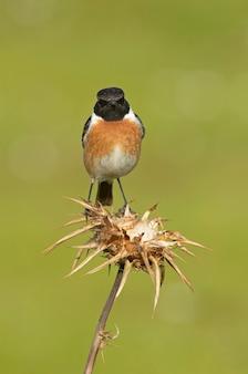 Самец обыкновенного очитка с оперением брачного сезона в природе